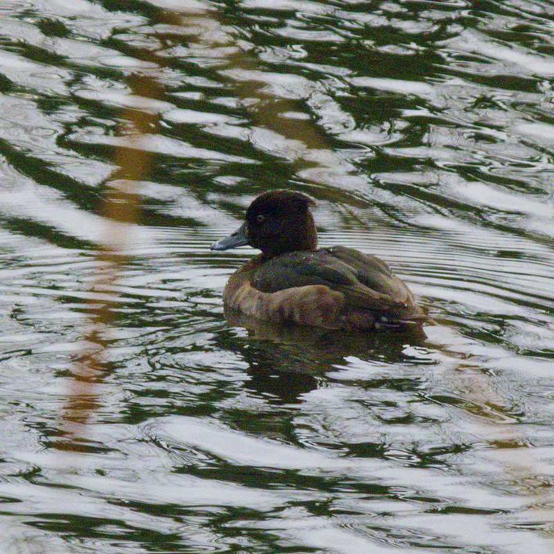 Retreating female tuftie, Perton