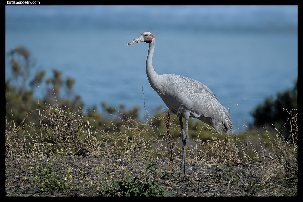 Brolga: The Locals