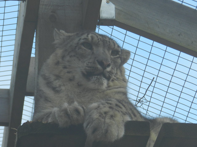 Snow Leopard, Highland Wildlife Park, Kincraig, Jan 2020