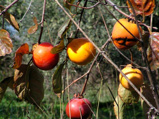 Pomegranates, Spili, Crete