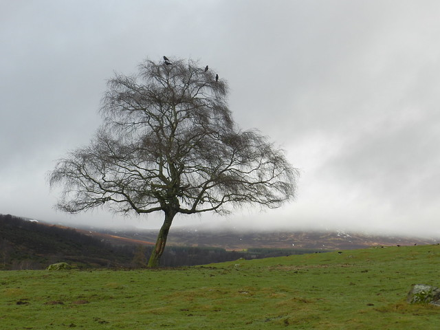 The Lone Tree, Highland Wildlife Park, Kincraig, Jan 2020