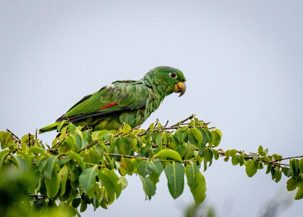 Mealy parrot/Papagaio-moleiro/Loro harinoso (Amazona farinosa)
