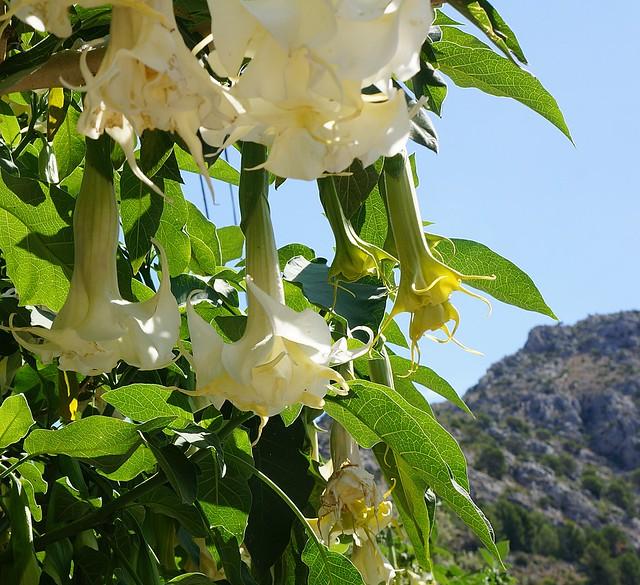 Flores en  Fuentes del Algar. Trompeta del Ángel.