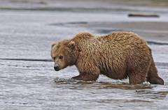 Aware Bear