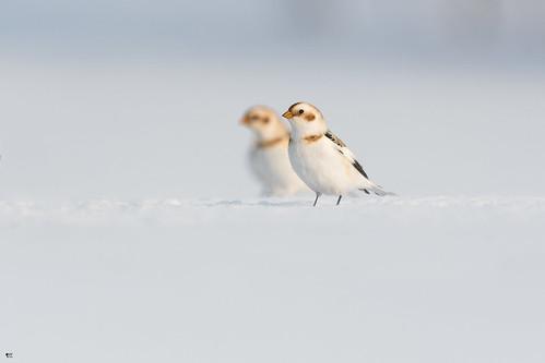 ''Son double!'' Plectrophane des neiges-Snow bunting