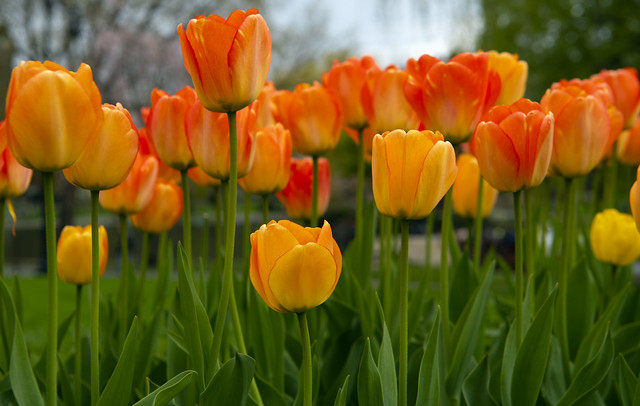 Some Tulips for Another Grey Day in New England. (Taken last April at the Boston Boston Gardens.)