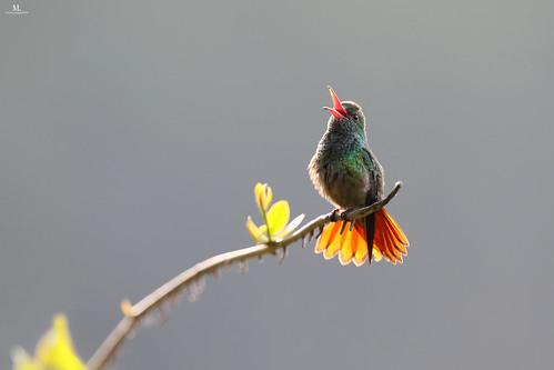 Rufous-tailed hummingbird - Ariane à ventre gris - Amazilia tzacatl