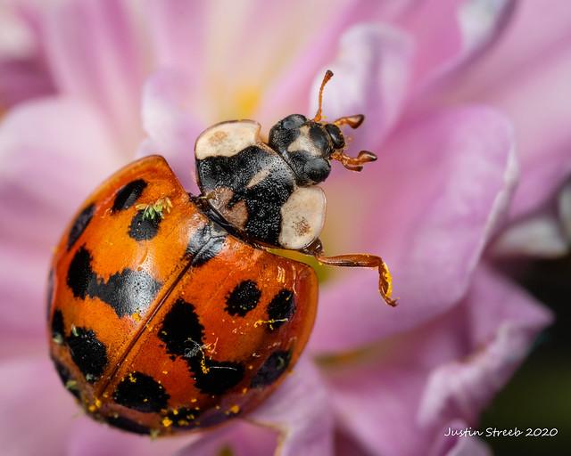 Ladybug & Purple Flower