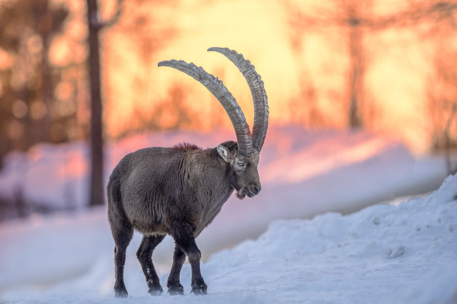 Ibex from Austria