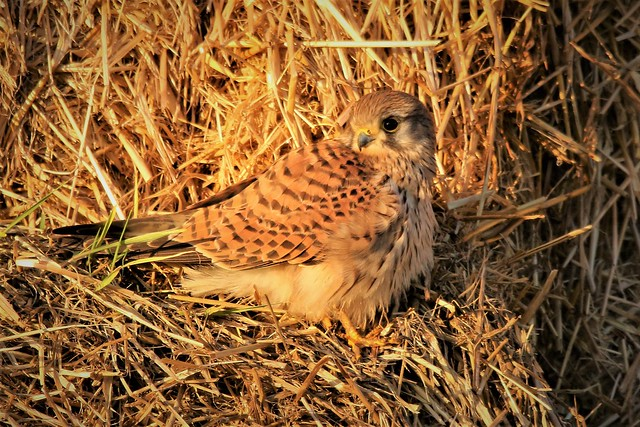 Kestrel at sunrise (Falco tinnunculus) Dungeness RSPB