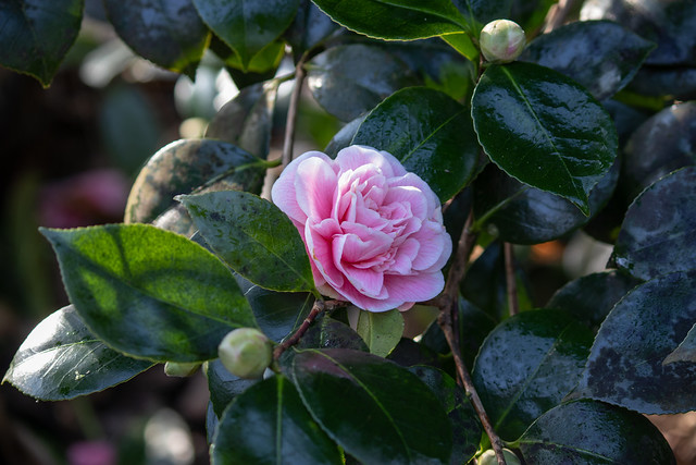 Camellia, Kingston Lacy 2