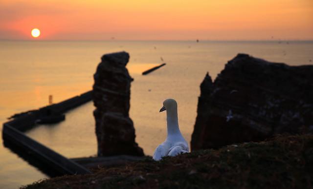 Northern Gannet enjoying sunset view on Lange Anna