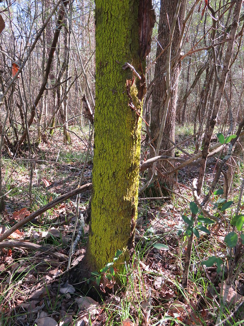 Candleflame Lichen Candelaria concolor