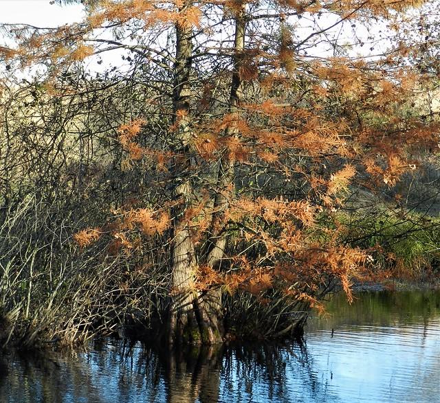 Bald Cypress At Merkle Wildlife Sanctuary