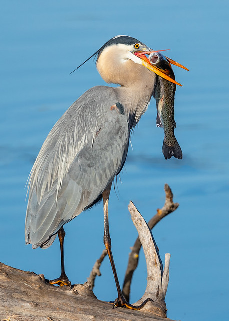 Great Blue Heron with Trout (X2014632-1)