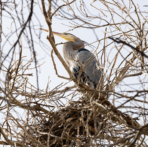 blue_heron_on_nest-20200206-132 | by Dagny Gromer