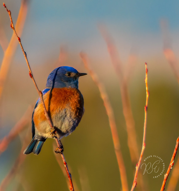 Bluebirdwm_20602571