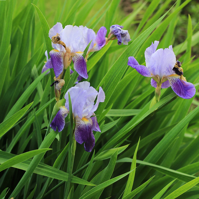 Ирис садовый, или гибридный, касатик (Iris hybrida).