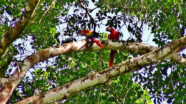 MEXICO, Las Guacamayas, direkt am Rio Lacantún, mitten im Dschungel, rote Aras hoch oben in den Baumkronen, 19509/12351