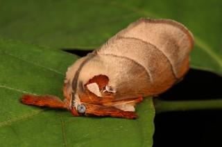 Cup Moth (Mahanta sp., Limacodidae)