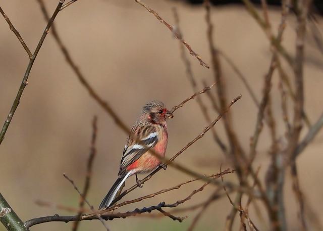 Long-tailed rosefinch (Carpodacus roseus, ベニマシコ)