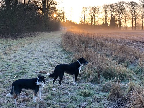 """dogs collies morning dogwalk trees sunrise frost odc """"favourite time day"""" dawn"""