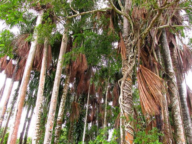 Palma de aguaje Mauritia flexuosa