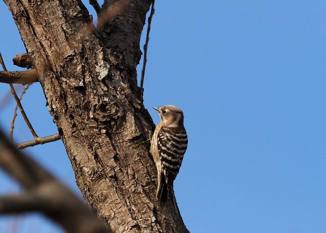 Japanese pygmy woodpecker (Dendrocopos kizuki,  コゲラ)