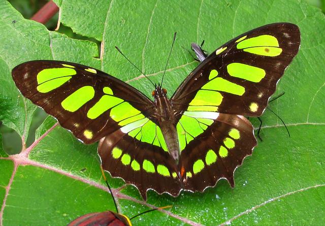 Siproeta epaphus (Nymphalidae)