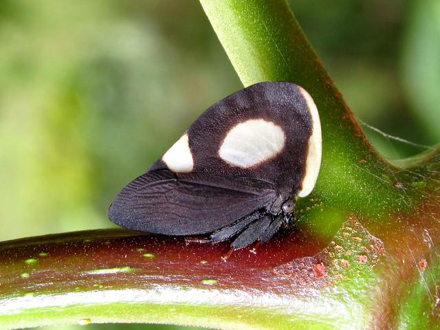 Membracis sp. (Membracidae)