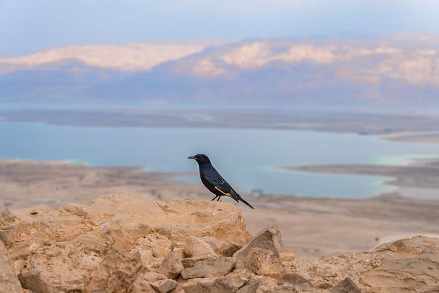 Tristam's starling/grackle at Masada
