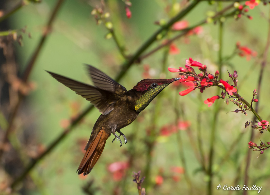 Male Ruby topaz hummingbird (Chrysolampis mosquitos)