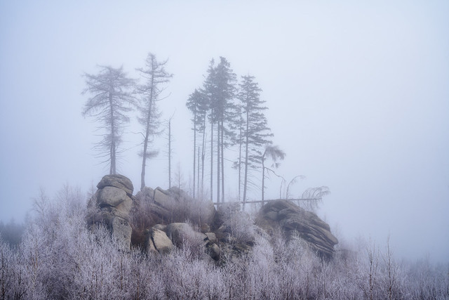 Larches in the Fog