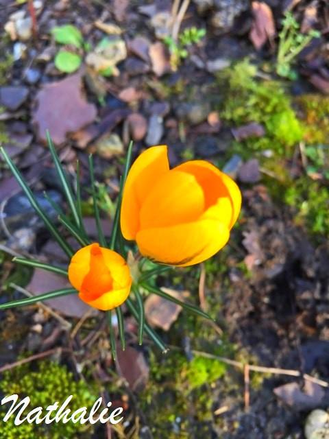 mon crocus premiere fleur