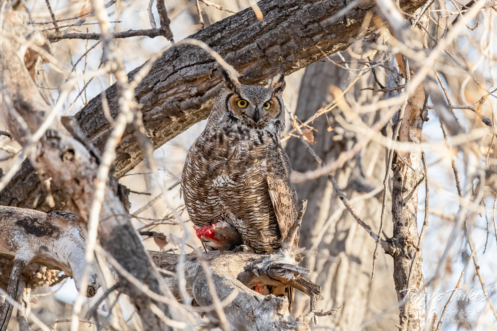 A great horned owl guards a fish it was eating. (© Tony's Takes)