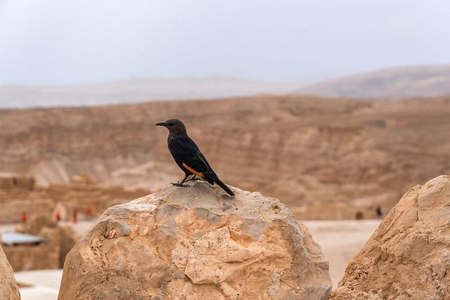Tristam's starling/grackle Dead sea