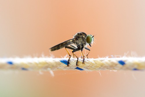 Robber Fly | by Lot99