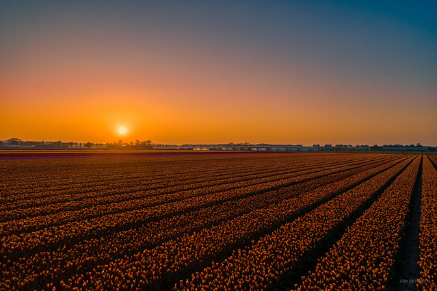 Sunset over the bulb fields.