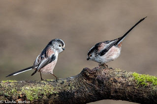 Long Tailed Tits | by Linda Martin Photography