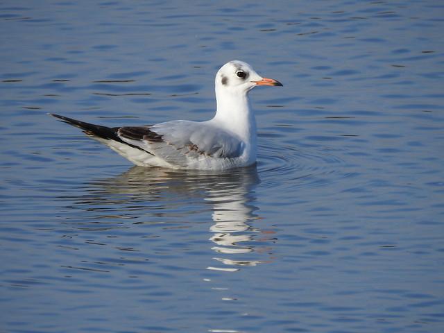 Black-headed Gull DSCN4723