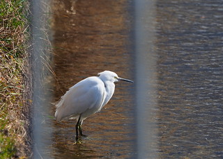 Little egret (コサギ) | by Greg Peterson in Japan