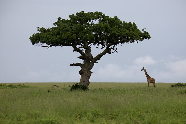 The tall and taller. Serengeti