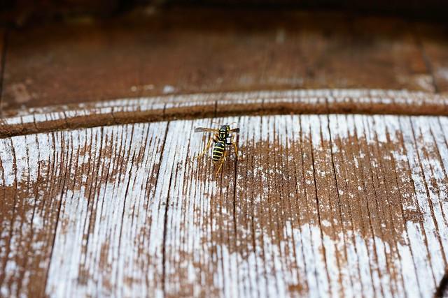 Wasp on a barrel