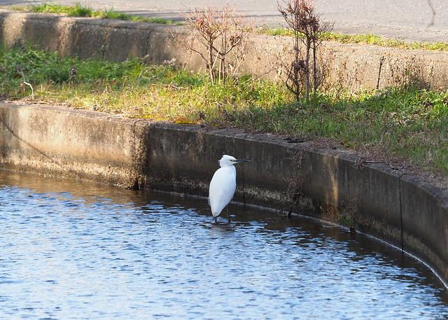 Little egret (コサギ)