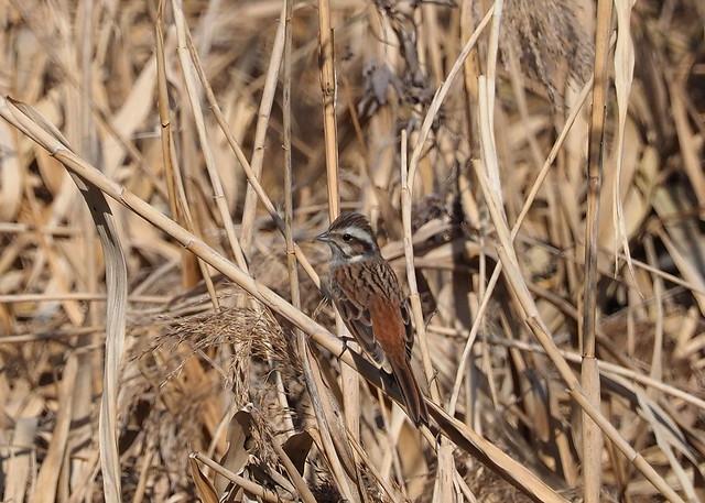 Meadow bunting (Emberiza cioides, ホオジロ)