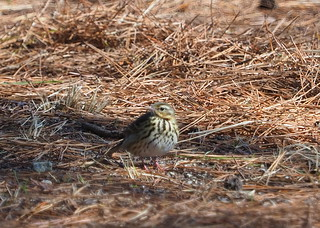 Olive-backed pipit (Anthus hodgsoni, ビンズイ) | by Greg Peterson in Japan