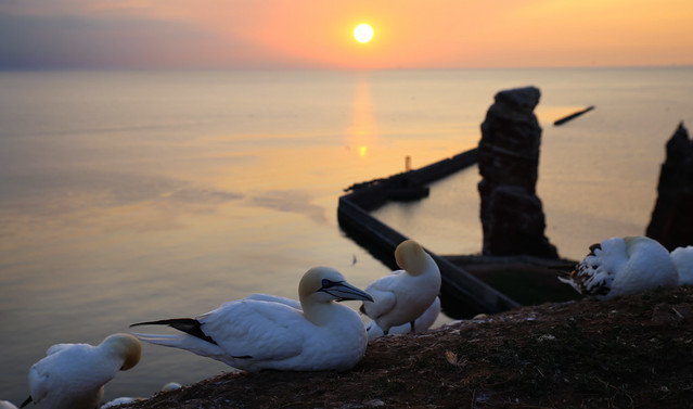 Northern Gannets preparing for a great night's sleep at Lange Anna