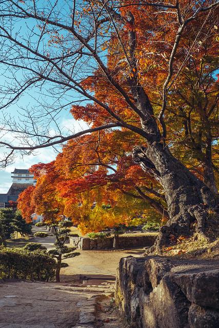 Old tree, Himeji