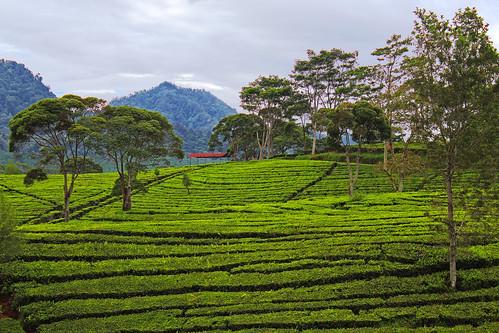 tea landscape green panorama sukawana