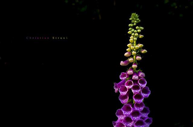 Low Key Digitalis purpurea